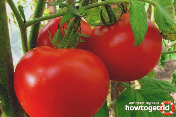 Выращивание томатов Максимка