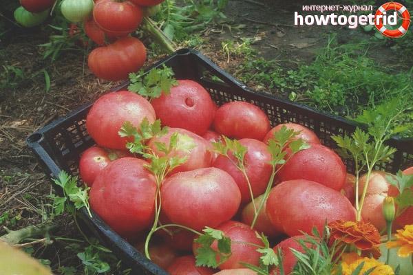 Выращивание томатов Малиновый ожаровский