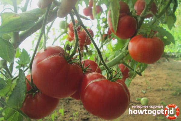 Выращивание томатов Мамина любовь
