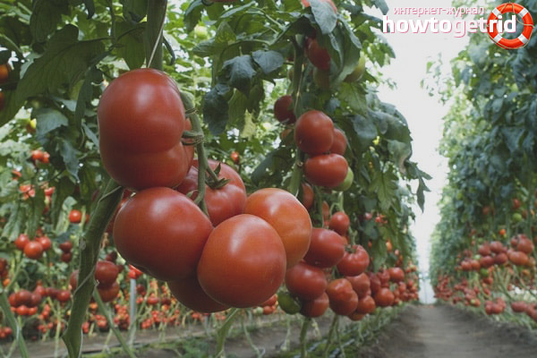 Выращивание томатов Матиас F1