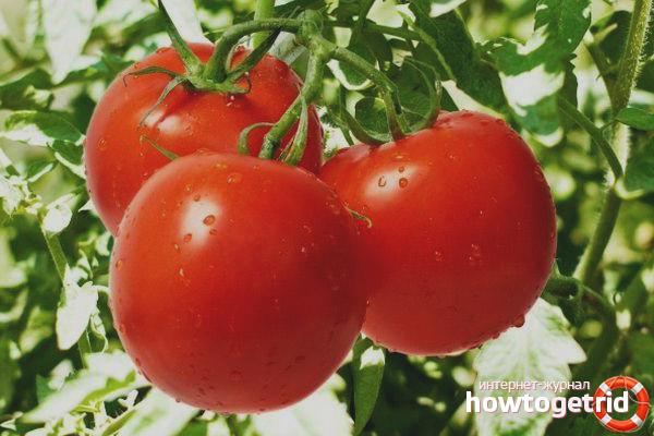 Выращивание томатов Томат Марфушечка душечка