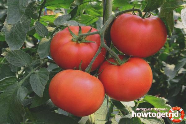 Выращивание томатов О-ля-ля