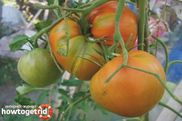 Выращивание томатов Персидская сказка