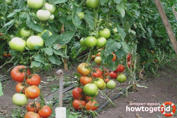 Выращивание томатов Пинк леди F1