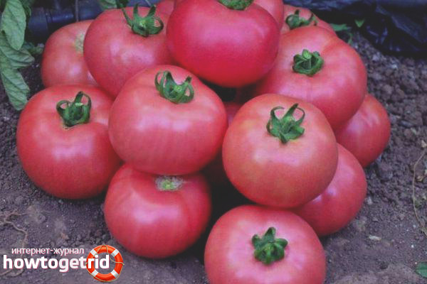 Выращивание томатов Пинк уникум F1
