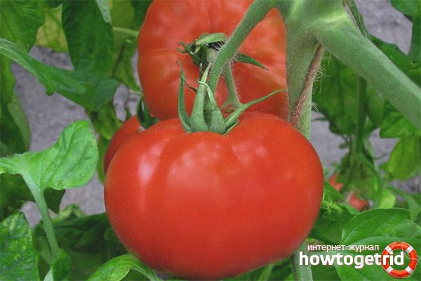 Выращивание томатов Полонез F1