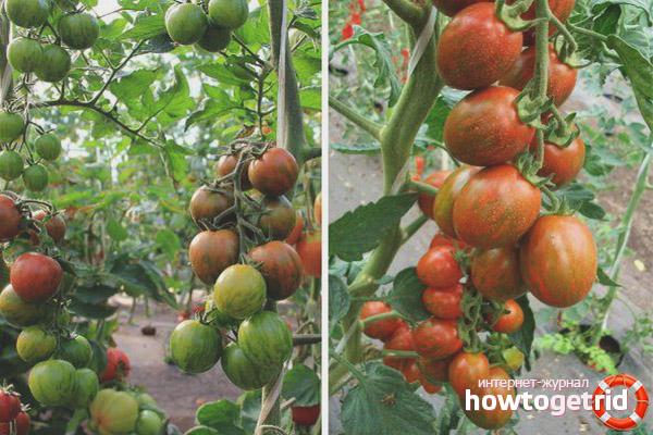 Выращивание томатов Полосатый рейс