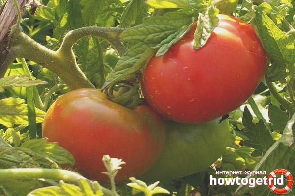 Выращивание томатов Премьер