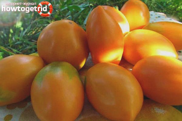 Выращивание томатов Радуница