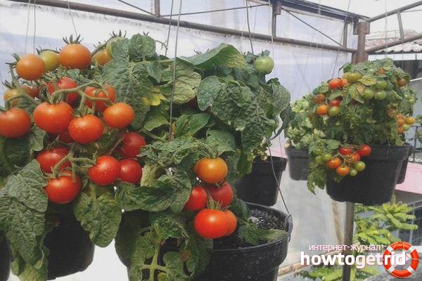 Выращивание томатов Ред Робин