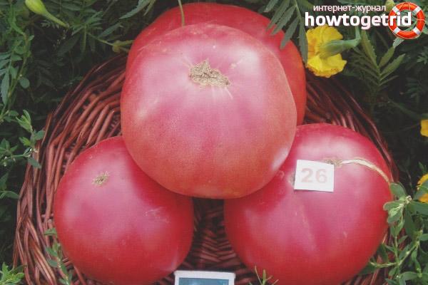 Выращивание томатов Робинзон