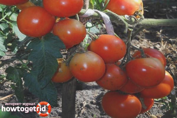 Выращивание томатов Санта Клаус