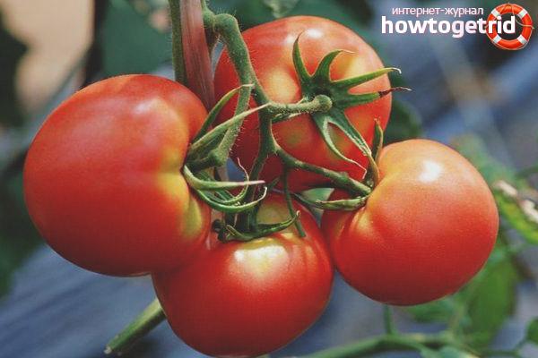 Выращивание томатов Сказка