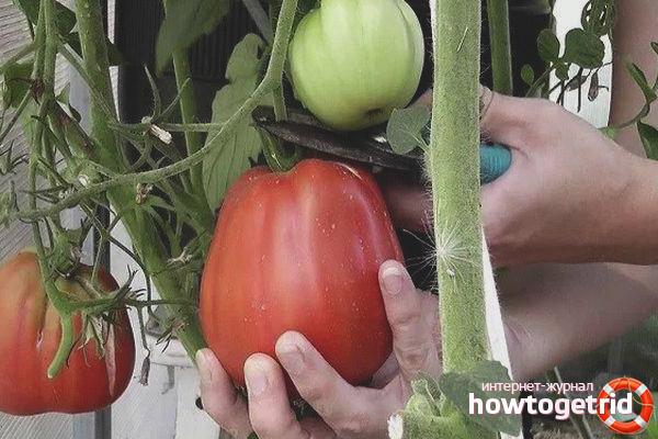 Выращивание томатов Толстый монах
