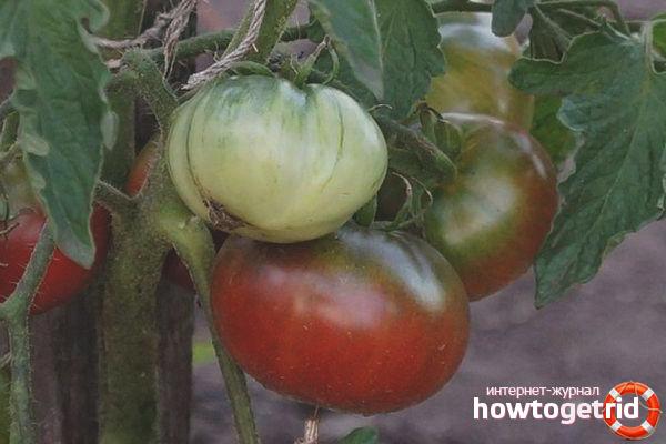 Выращивание томатов Углерод