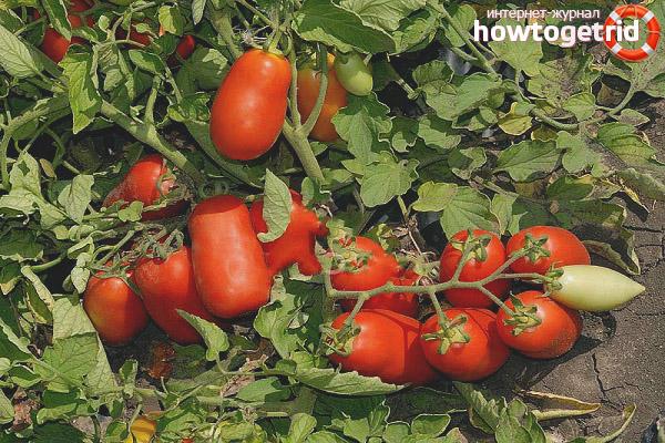 Выращивание томатов Улиссе F1