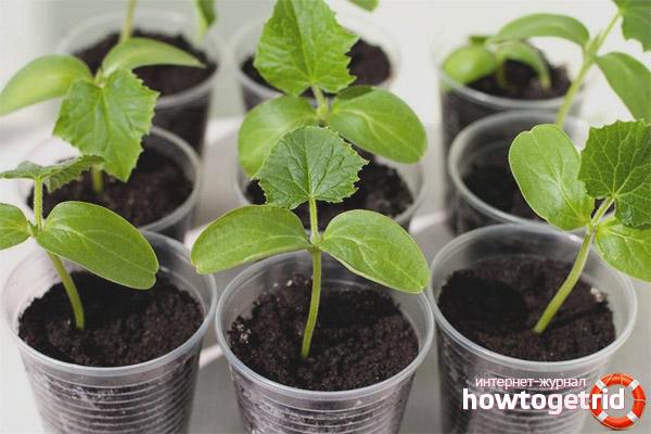 Как выращивать огурцы Амур F1 из рассады