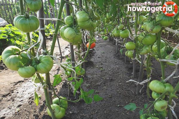Особенности выращивания томатов Чудо Алтая
