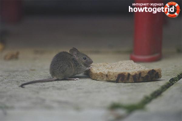 Питание домовой мыши