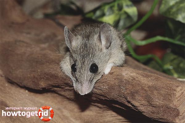 Размножение домовой мыши