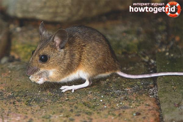Среда обитания домовой мыши
