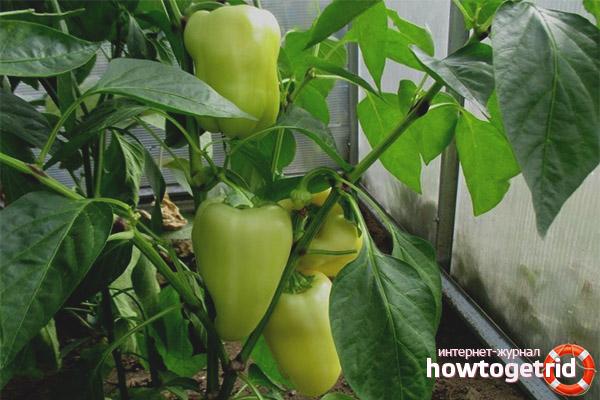 Технология выращивания перца Белое золото