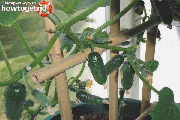 Выращивание огурцов сорта Балконное чудо F1