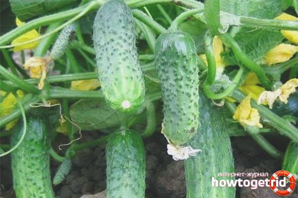 Выращивание огурцов сорта Криспина F1
