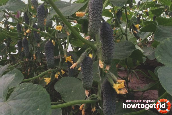 Выращивание огурцов сорта Лютояр F1