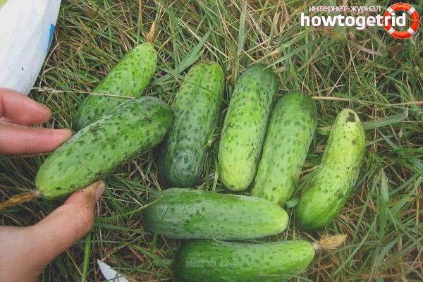 Выращивание огурцов сорта Пальчик