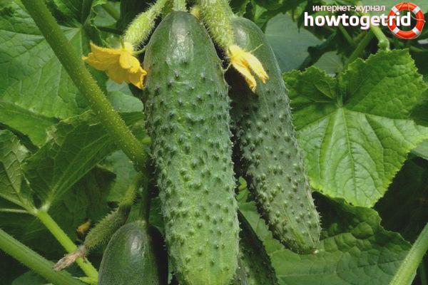 Выращивание огурцов сорта Щедрик F1