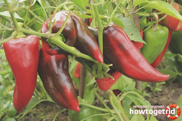 Выращивание перца Воловье ухо