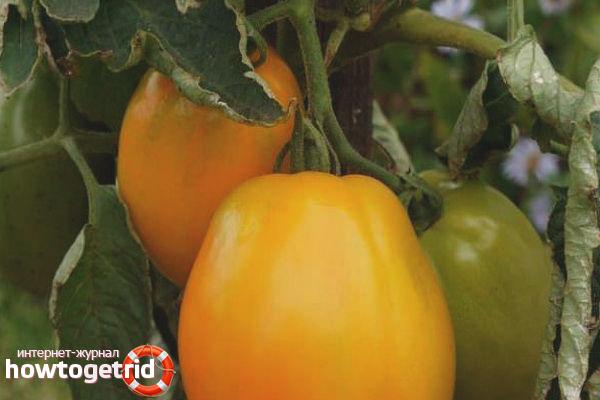 Выращивание томатов Янтарное сердце F1