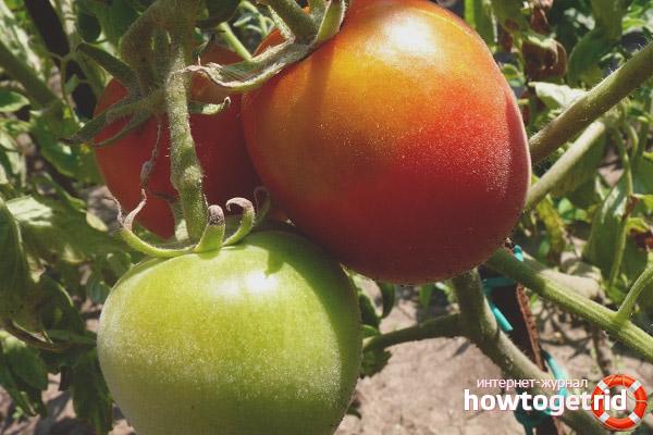 Выращивание томатов Шахерезада