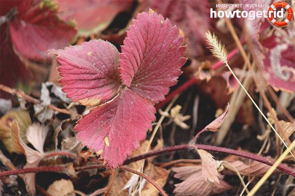 У клубники краснеют листья