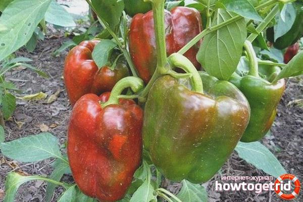 Особенности выращивания перца Клаудио F1