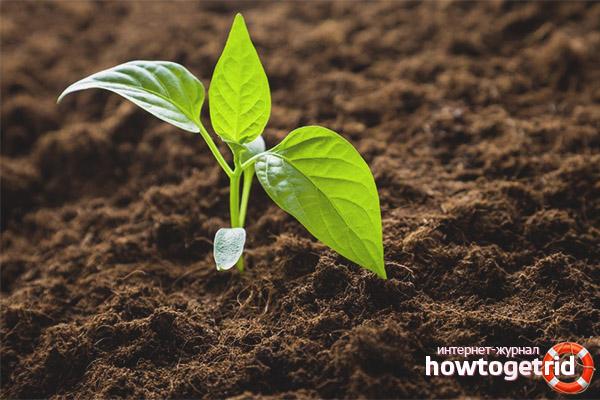 Выращивание рассады перца колокольчик