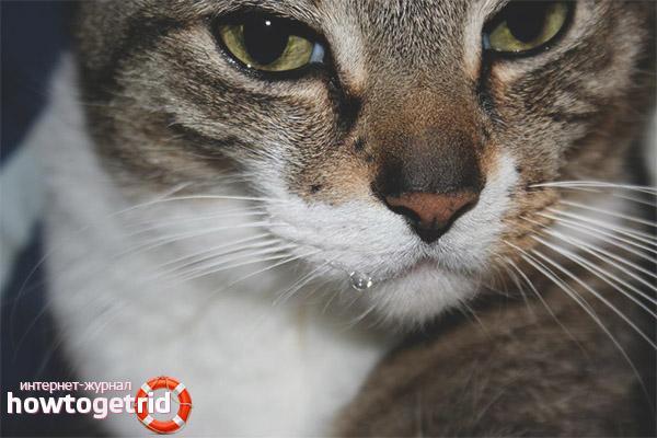 Что делать если у кошки текут слюни изо рта