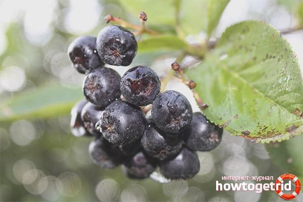 Применение черноплодной рябины в народных рецептах